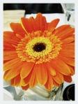 a happy, single bright daisy